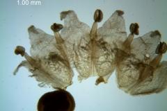 Cuscuta runyonii  - corolla, dissected