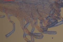 Cuscuta runyonii  - infrastaminal scales