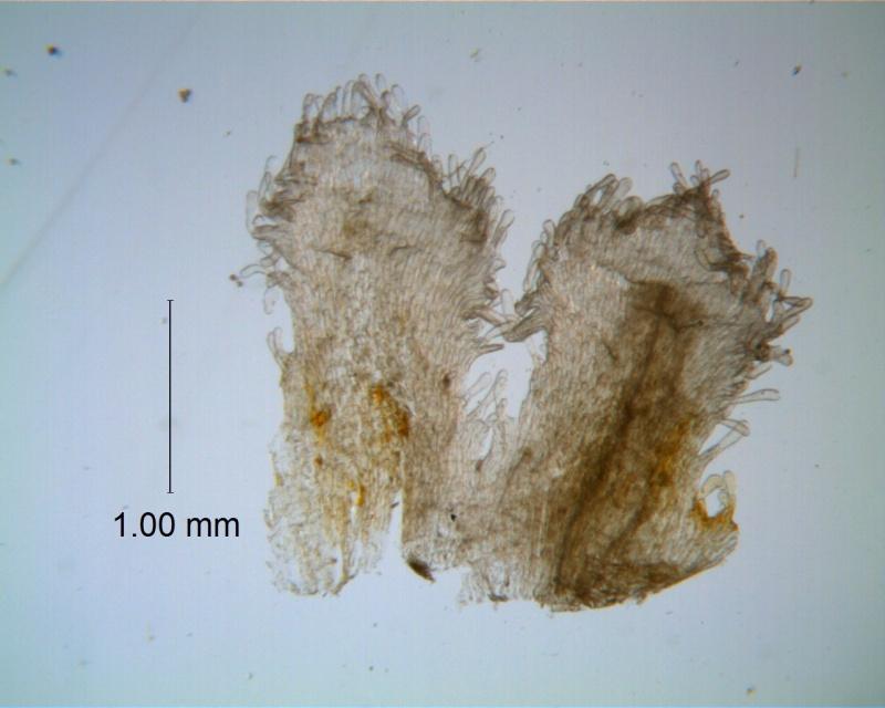 Cuscuta gigantea - infrastaminal scales