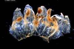 Cuscuta pentagona  var. pubescens - corolla, dissected