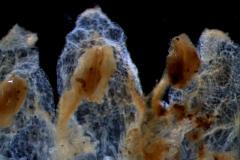 Cuscuta pentagona  var. pubescens - corolla lobes