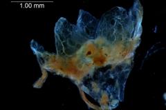 Cuscuta verrucosa  - calyx, 3D