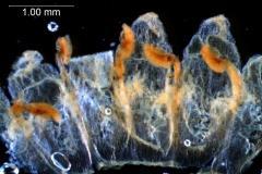 Cuscuta verrucosa - corolla, dissected