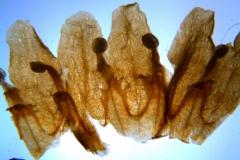 Cuscuta kilimanjari - corolla, dissected