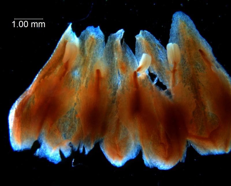 Cuscuta lindsayi --corolla, dissected