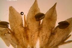 Cuscuta nitida  - corolla, dissected