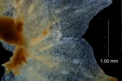 Cuscuta nitida  - calyx lobes detail