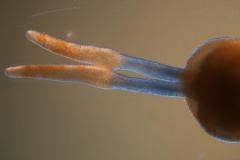 Cuscuta nitida  - gynoecium detail