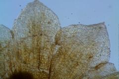 Cuscuta chilensis  - calyx lobes