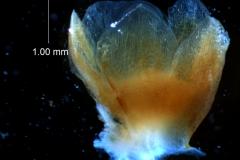 Cuscuta chilensis  - calyx, 3D