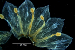 Cuscuta pacifica - corolla dissected