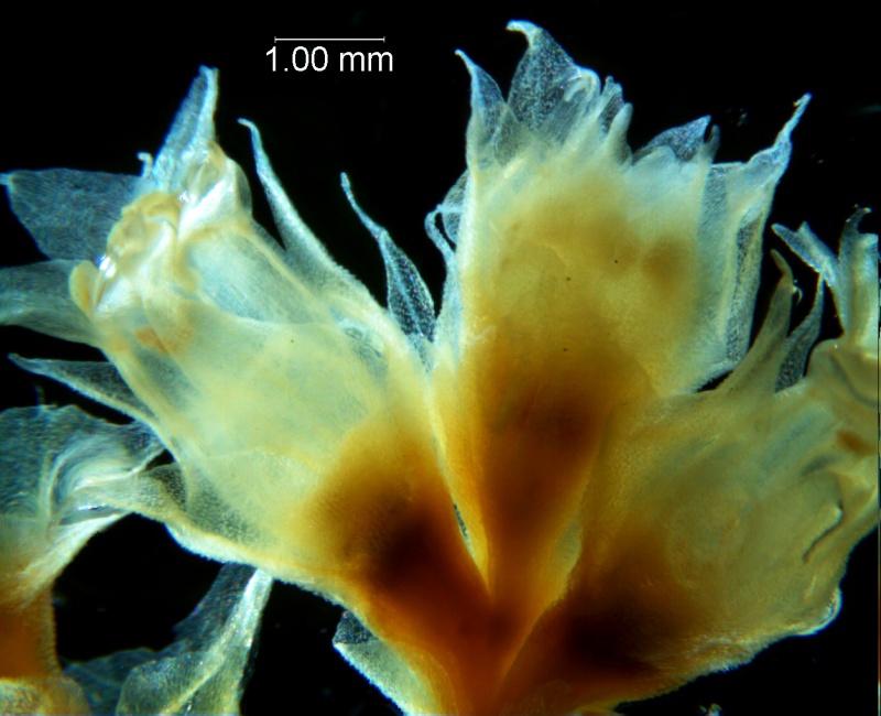 Cuscuta ortegana, fragment inflorescence