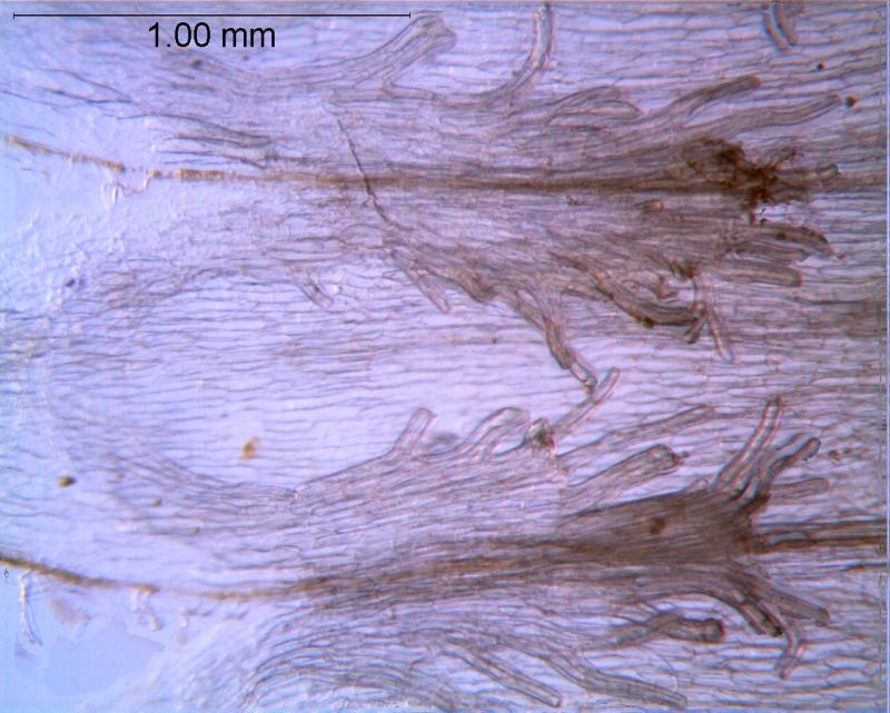 Cuscuta ortegana, infrastaminal scales
