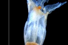 Cuscuta ortegana, corolla 3D