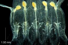 Cuscuta ortegana, corolla dissected