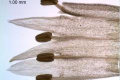 Cuscuta polyanthemos, corolla dissected