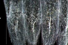 Cuscuta polyanthemos, scales