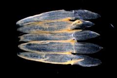 Cuscuta polyanthemos, corolla, dissected