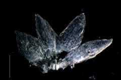 Cuscuta polyanthemos; calyx. dissected