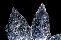 Cuscuta polyanthemos; calyx lobes