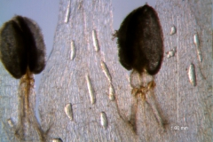 Cuscuta hyalina; stamens and corolla lobes