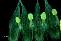 Cuscuta hyalina; corolla dissected