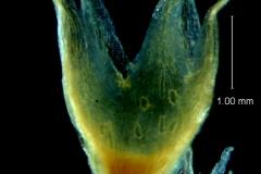Cuscuta hyalina, calyx 3D