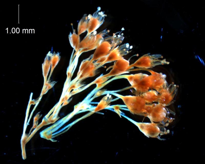 Cuscuta gracillima var. esquamata; inflorescence