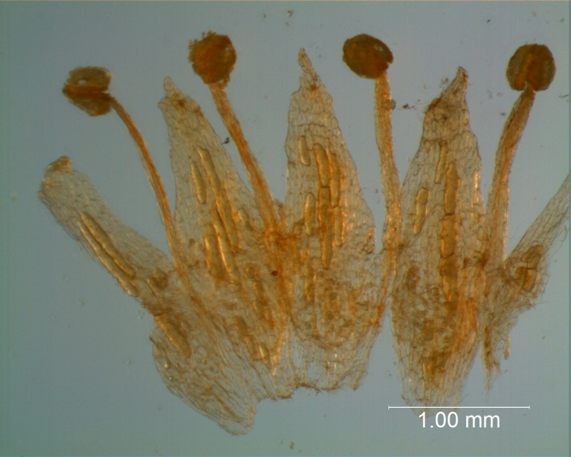 Cuscuta gracillima var. esquamata; corolla dissected