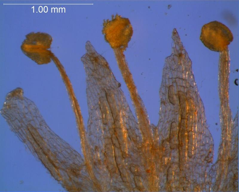 Cuscuta gracillima var. esquamata; corolla lobes and stamens