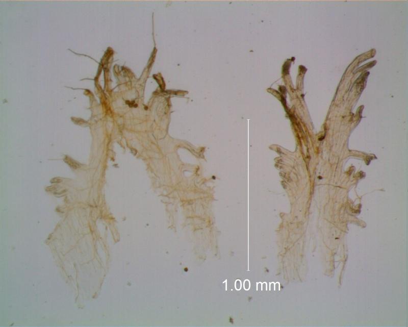 Cuscuta gracillima var. esquamata; infrastaminal scales
