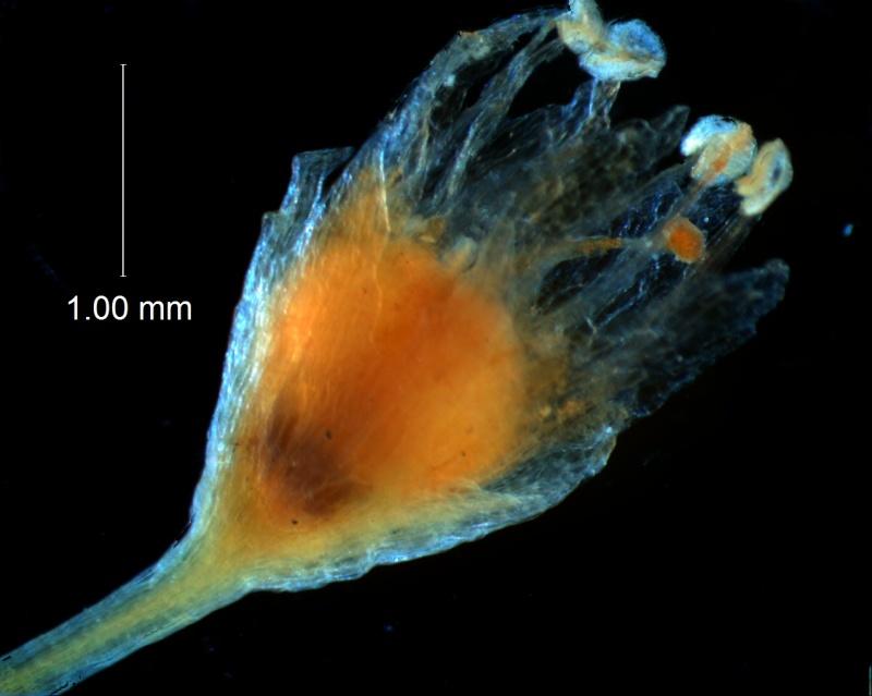 Cuscuta gracillima var. esquamata; flower
