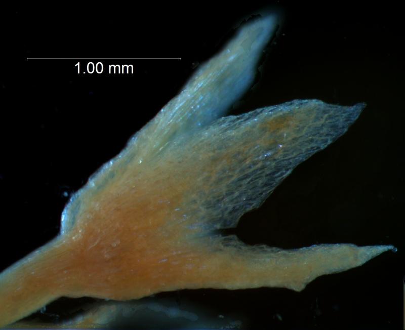 Cuscuta gracillima var. esquamata; calyx 3D