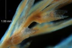 Cuscuta gracillima var. esquamata; bract