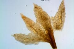 Cuscuta gracillima var. esquamata; calyx dissected
