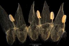 Cuscuta legitima, corolla dissected