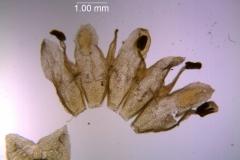Cuscuta fasciculata; corolla dissected