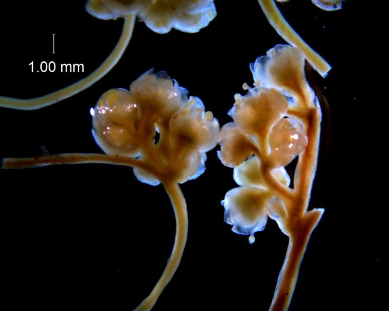 Cuscuta australis, inflorescence