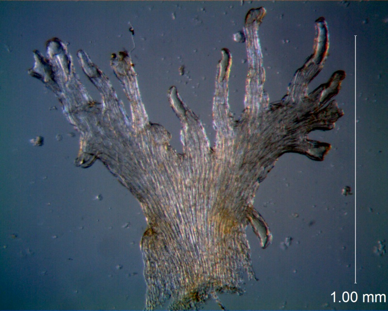 Cuscuta australis var. cesatiana; scale