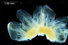 Cuscuta australis var. cesatiana; dissected calyx