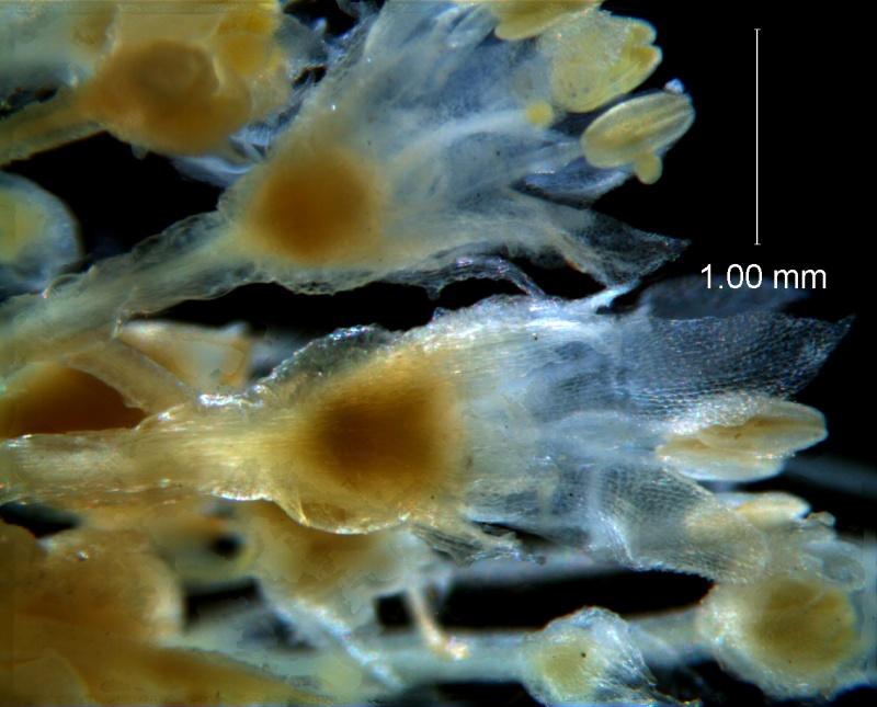 Cuscuta desmouliniana; inflorescence