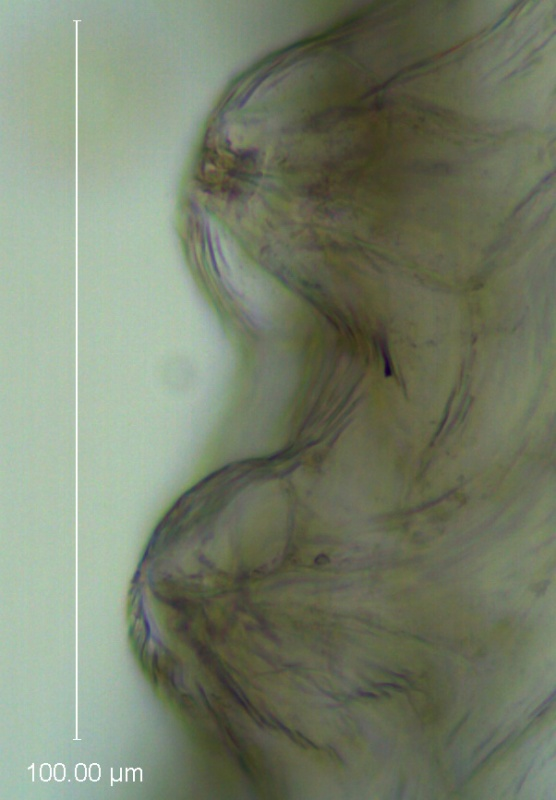 Cuscuta desmouliniana; calyx: protuberances with stomata