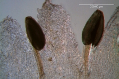 Cuscuta desmouliniana; corolla lobes