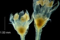 Cuscuta desmouliniana; flower variation
