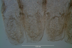 Cuscuta liliputana, scales