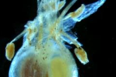 Cuscuta liliputana, capsule capped by corolla