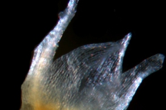 Cuscuta liliputana, calyx, 3D