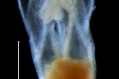 Cuscuta liliputana, corolla 3D