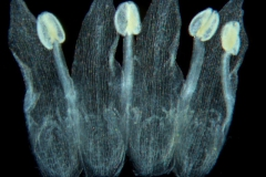 Cuscuta liliputana, dissected corolla