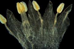 Cuscuta tuberculata, corolla dissected